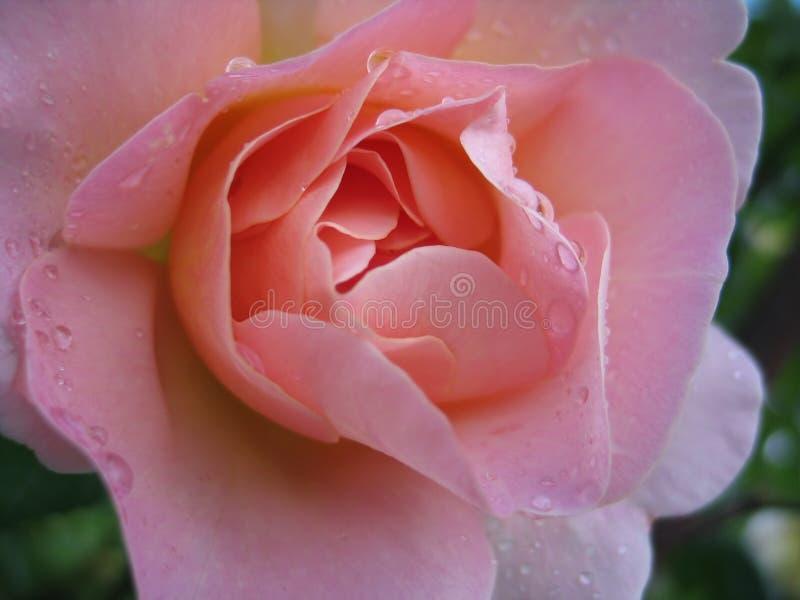 Le rose humide a monté photo libre de droits
