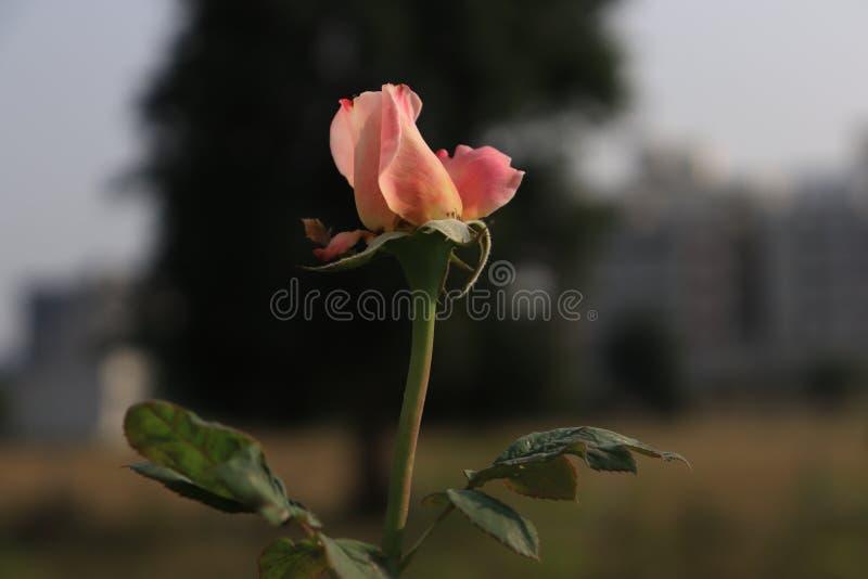 Le rose a monté photo libre de droits