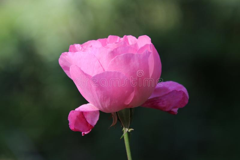 Le rose a monté dans sa beauté photographie stock libre de droits