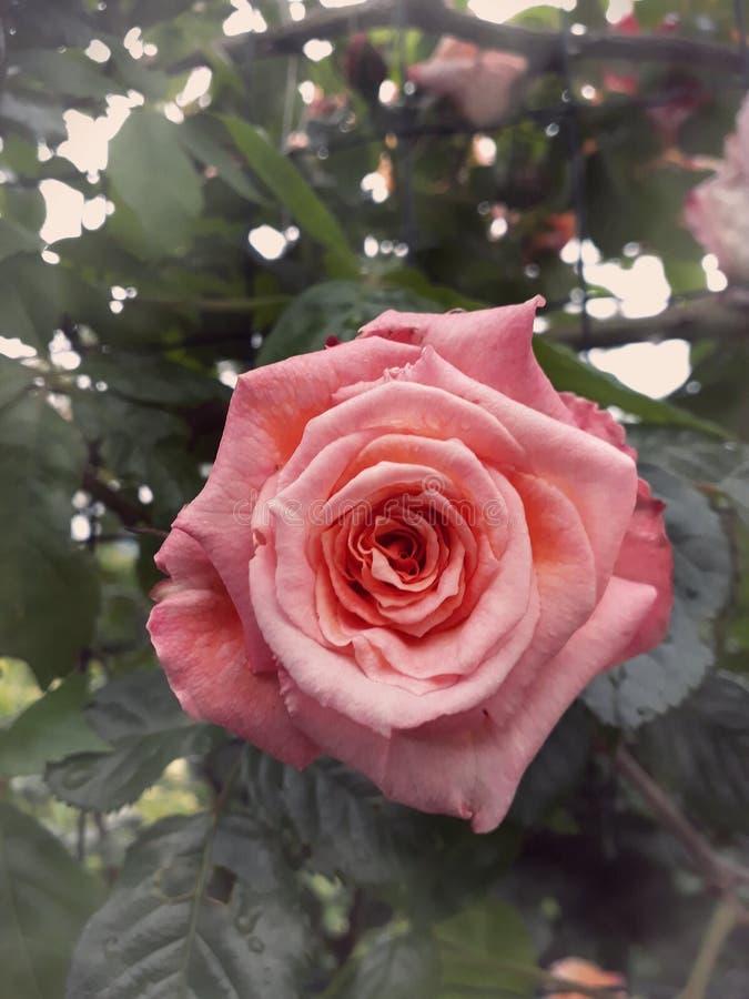Le rose a monté dans un petit jardin photo stock