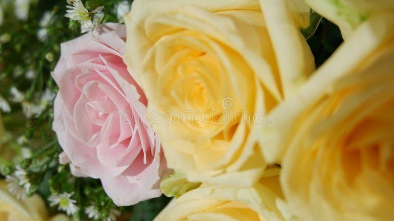 Le rose a monté entre les roses jaunes photo libre de droits