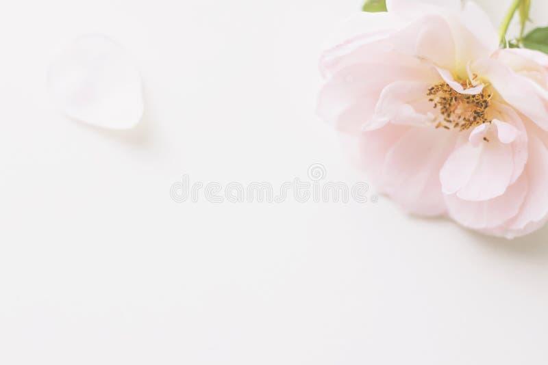 Le rose a monté fleur et pétales sur le fond brouillé en pastel mou et doux images libres de droits