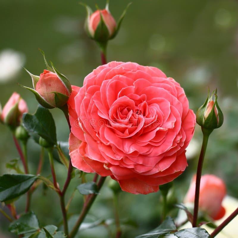 Le rose a monté parmi des bourgeons photo stock