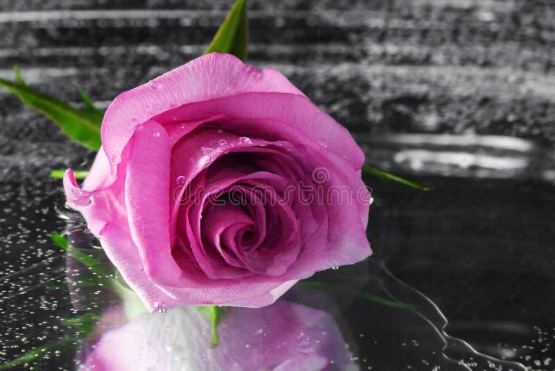 Le rose a monté sur la surface de l'eau foncée photos libres de droits