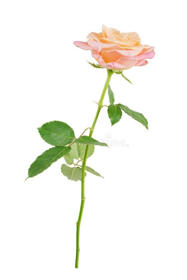 Le rose a monté sur un fond blanc photos stock