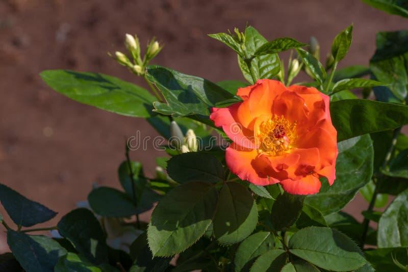Le rose a mont? image stock