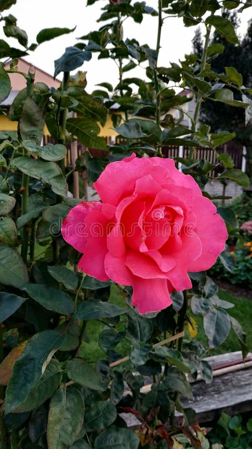 Le rose a mont? photo stock