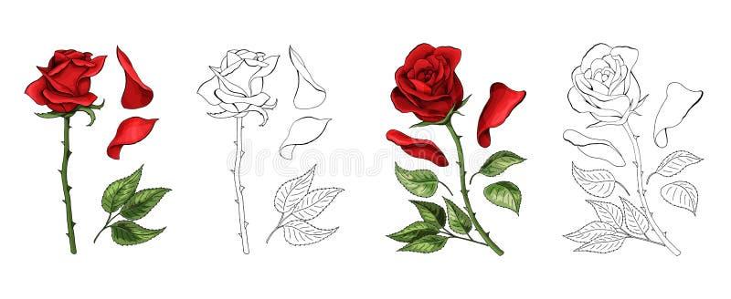 Le rose passano il disegno e colorate Un bocciolo di rosa sbocciante Illustrazione di vettore illustrazione di stock