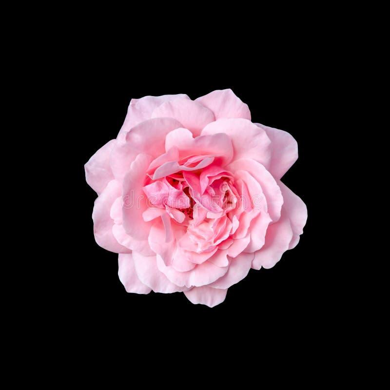 Le rose rosa fioriscono con fondo nero, incorniciano, si chiudono su fotografia stock libera da diritti