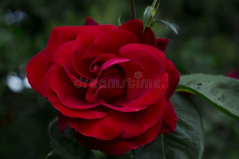 le rose rosse fiorisce nel giardino, bei fiori immagini stock