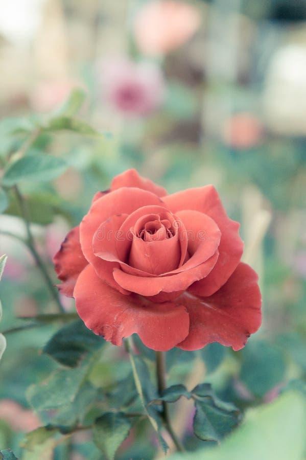 le rose rosse fiorisce nel giardino, rosa variopinta fotografie stock