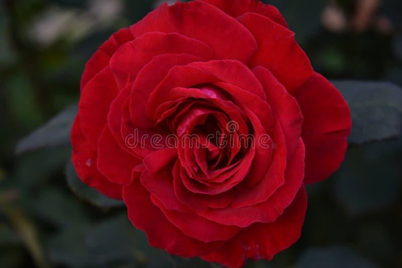 Le rose rosse si chiudono su fotografia stock libera da diritti