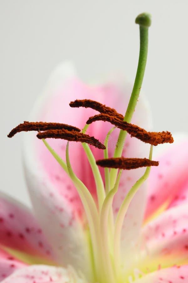 Le rose se ferment lilly vers le haut image libre de droits