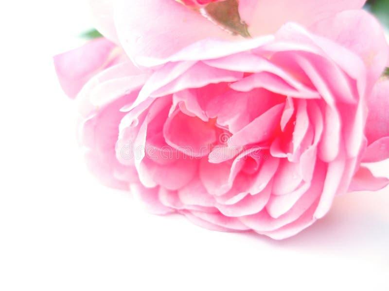 Le rose simple a monté image libre de droits