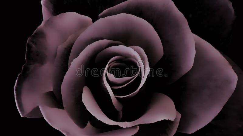 Le rose sombre et l'effet noir de velours d'un jardin ont monté photo libre de droits