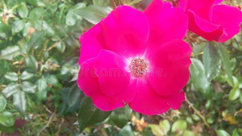Le rose sono rosse immagine stock