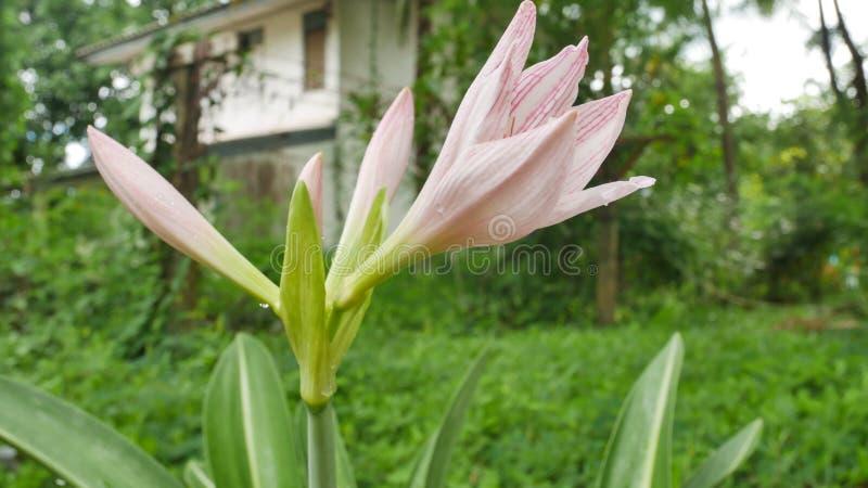 Le rose tiennent le premier rôle lilly des fleurs en nature images stock
