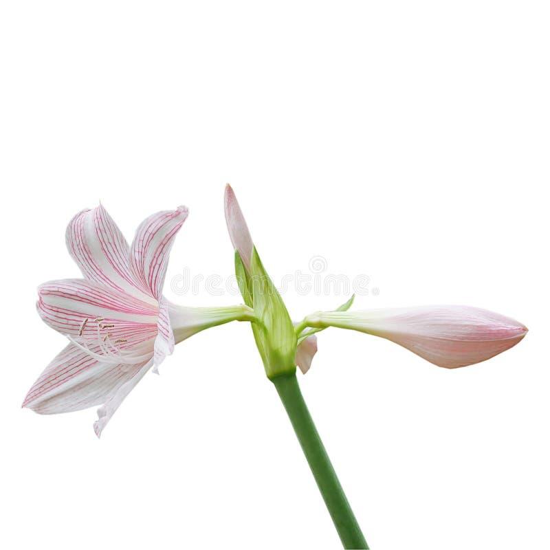Le rose tiennent le premier rôle lilly des fleurs sur le fond blanc images stock