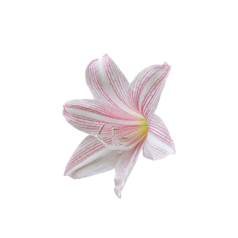 Le rose tiennent le premier rôle lilly des fleurs sur le fond blanc photo stock