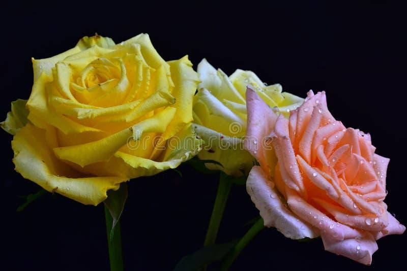 Le rose variopinte molto piacevoli si chiudono su nel mio giardino immagine stock