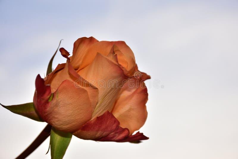 Le rose variopinte piacevoli si chiudono su immagine stock