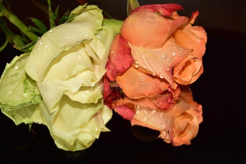 Le rose variopinte piacevoli si chiudono su immagine stock libera da diritti