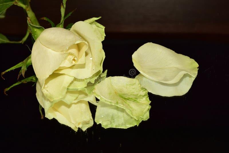 Le rose variopinte piacevoli si chiudono su fotografia stock libera da diritti