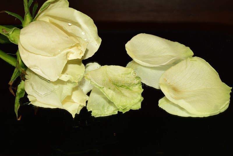 Le rose variopinte piacevoli si chiudono su immagini stock libere da diritti
