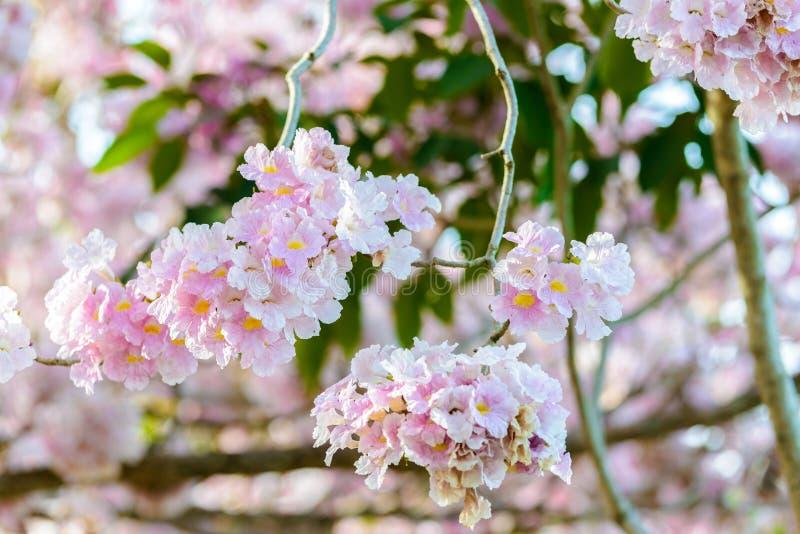 Le rosea de Tabebuia est un arbre neotropical de fleur rose et un ciel bleu image libre de droits