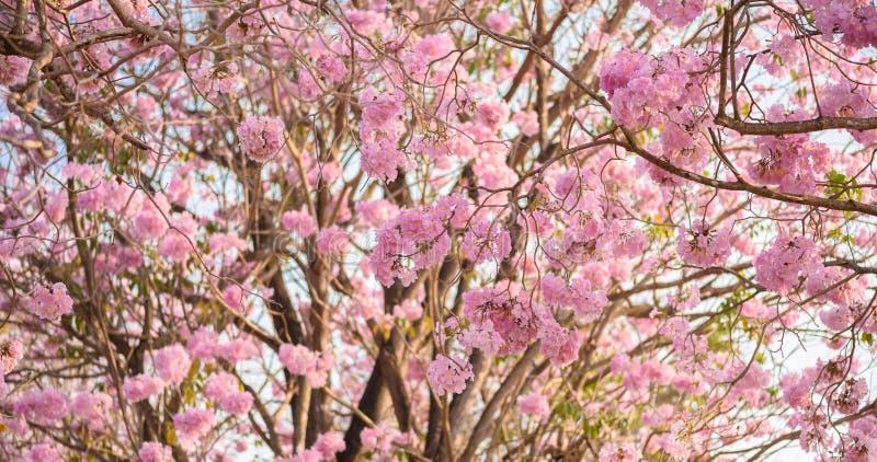 Le rosea de Tabebuia est un arbre neotropical de fleur rose photos libres de droits
