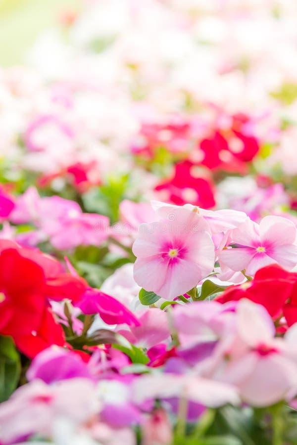 Le rosea de Vinca fleurit la fleur dans le jardin images libres de droits