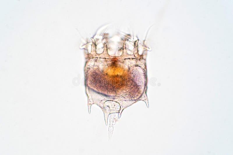 Le rotifère Rotifera, a généralement appelé des animaux de roue sous la vue microscopique photos libres de droits
