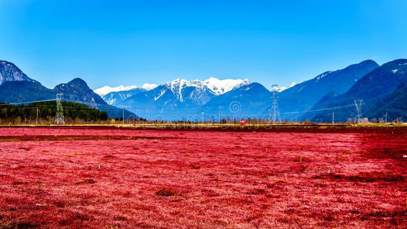 Le rouge a coloré des gisements de canneberge près de Pitt Meadows avec les crêtes couvertes par neige des oreilles d'or dans les image libre de droits