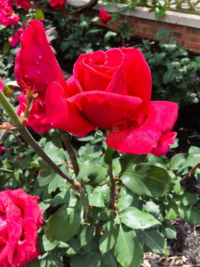 Le rouge a coloré la fleur a monté en pleine floraison image stock