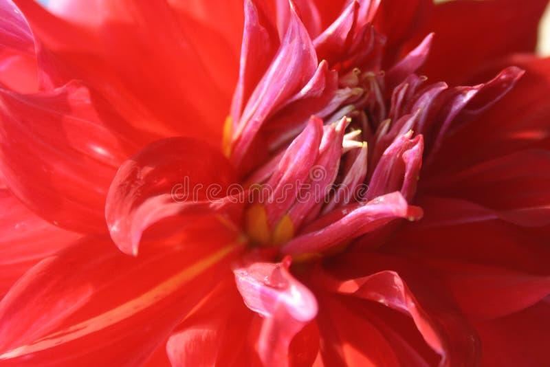 Le rouge fleurit l'aster photographie stock