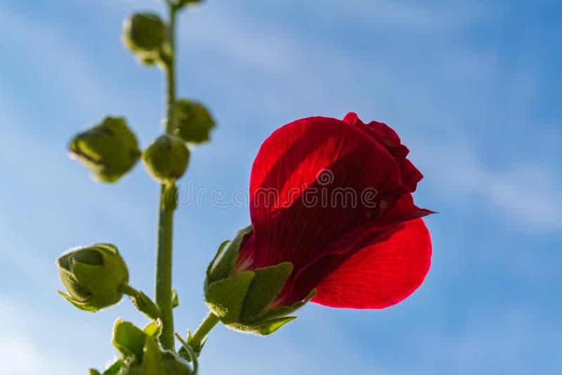 Le rouge fleurit la mauve photo libre de droits