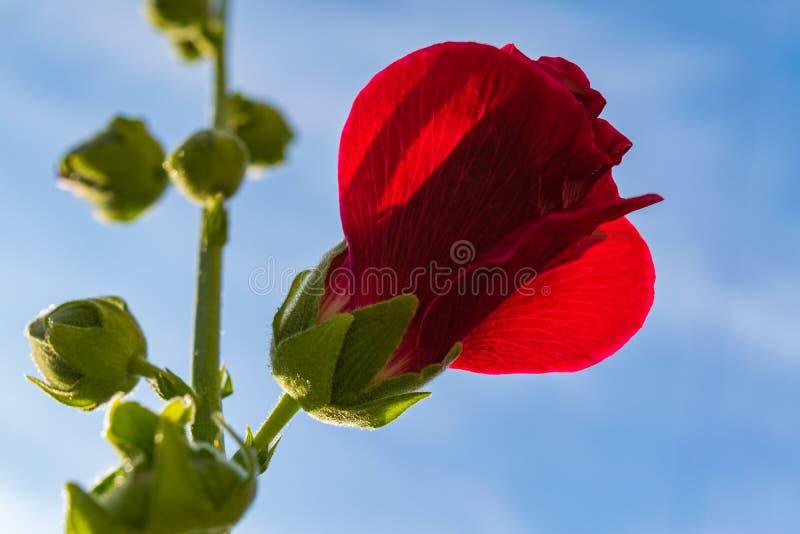Le rouge fleurit la mauve photos libres de droits