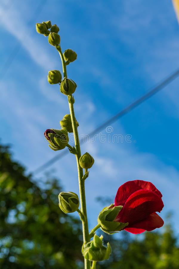 Le rouge fleurit la mauve image stock
