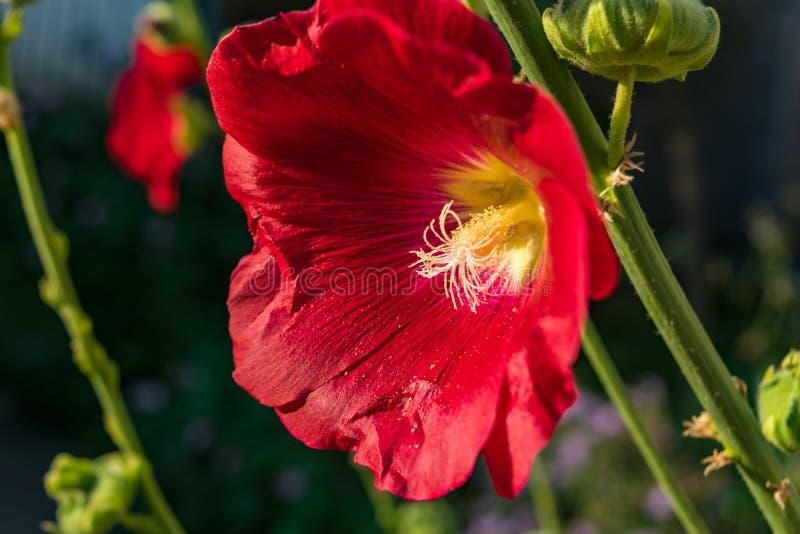 Le rouge fleurit la mauve photographie stock