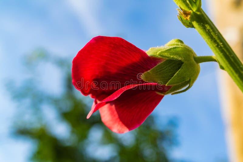 Le rouge fleurit la mauve images libres de droits
