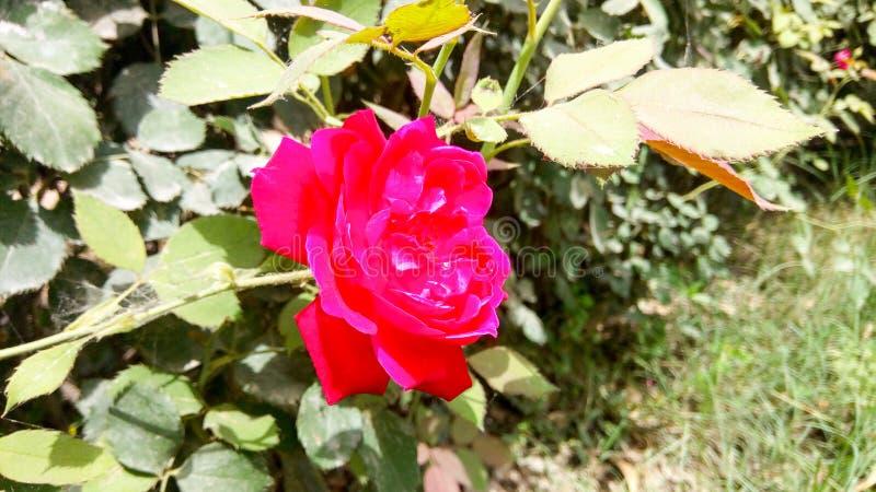 Le rouge fleurit la photo étonnante de nature photographie stock