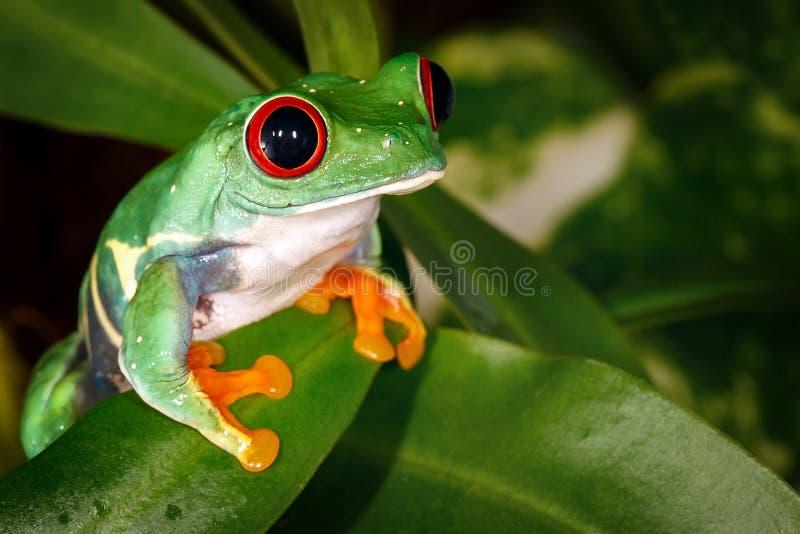Le rouge gentil très sérieux a observé la grenouille d'arbre et l'usine de broc photo libre de droits