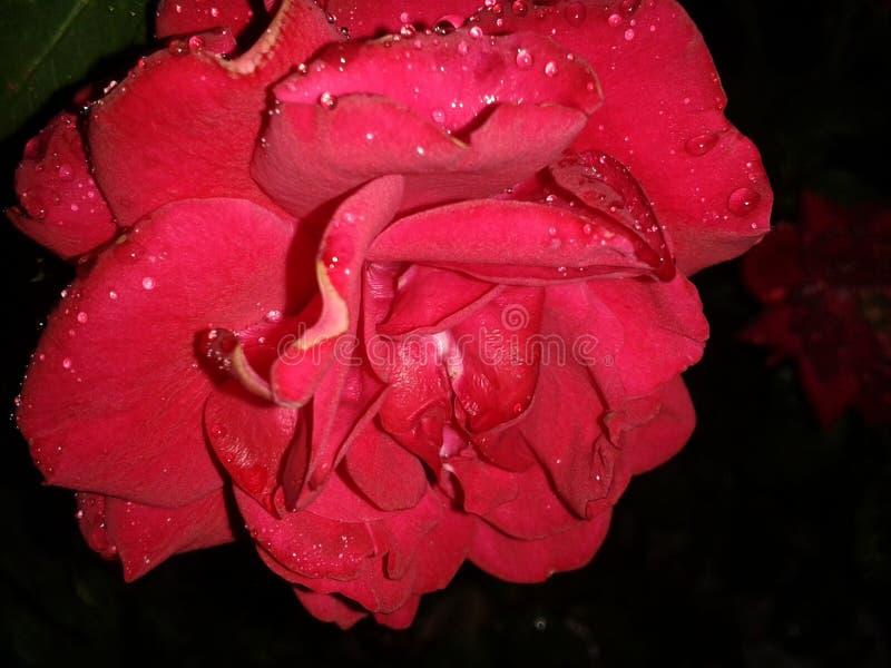 Le rouge humide a monté photos stock