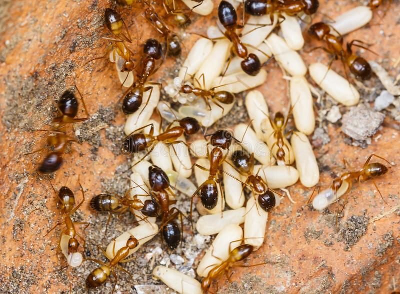 Le rouge a importé l'invicta de Solenopsis de fourmis de feu ou simplement RIFA salut des oeufs photographie stock