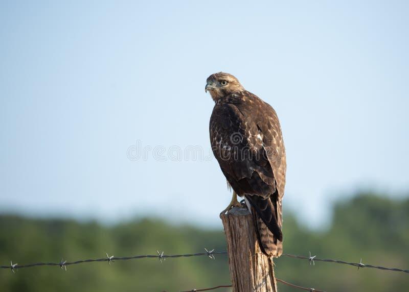 Le rouge juvénile a coupé la queue l'emplacement de faucon sur un courrier de barrière avec le barbelé s'étendant à l'un ou l'aut image libre de droits