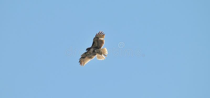 Le rouge juvénile a coupé la queue le vol de jamaicensis de Hawk Buteo dans le ciel bleu photos stock
