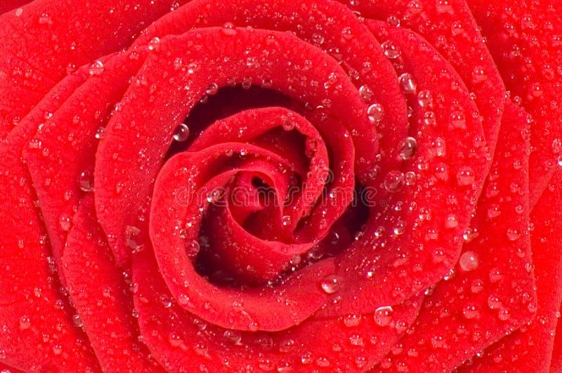 Le rouge magnifique a monté avec des gouttes de l'eau photographie stock libre de droits