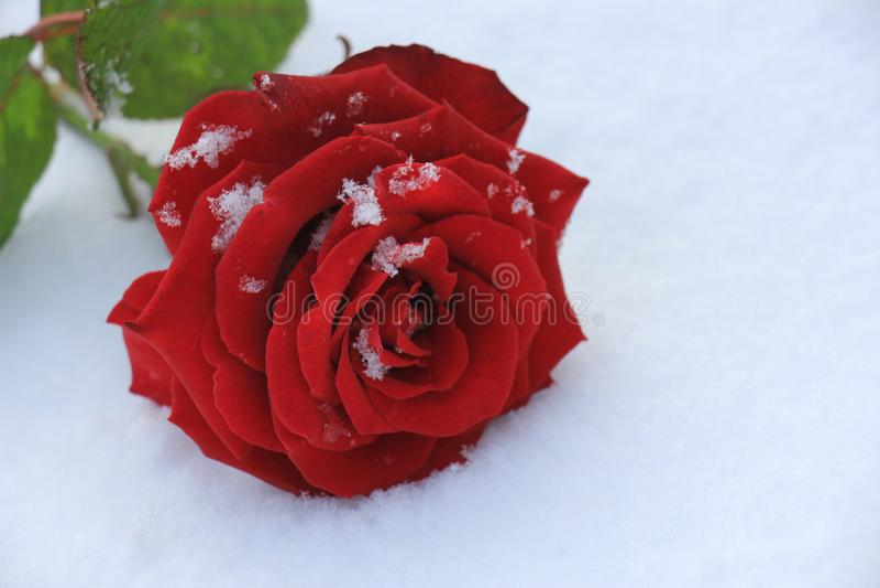 Le rouge a monté dans la neige image libre de droits