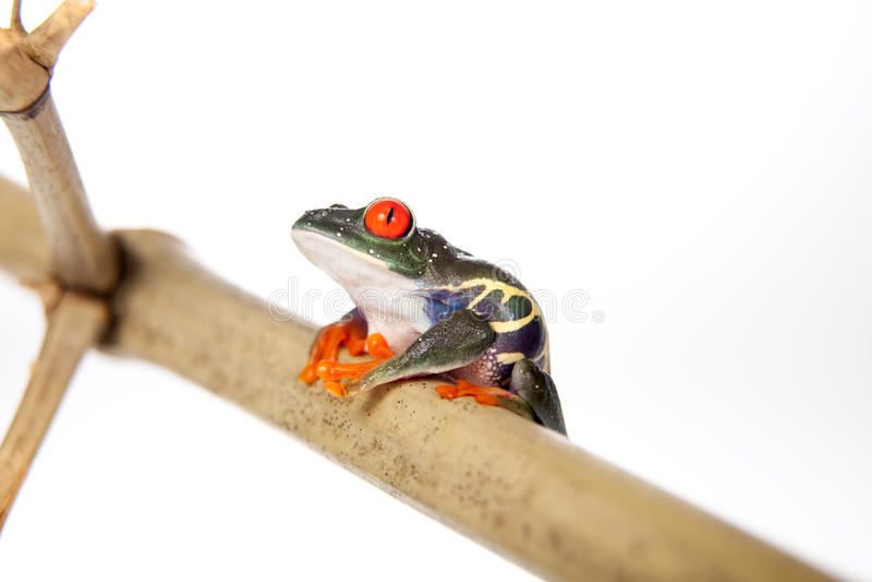 Le rouge a observé la grenouille d'arbre la nuit sur le fond blanc photographie stock libre de droits