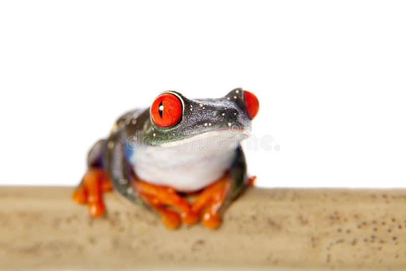 Le rouge a observé la grenouille d'arbre la nuit sur le fond blanc photo libre de droits